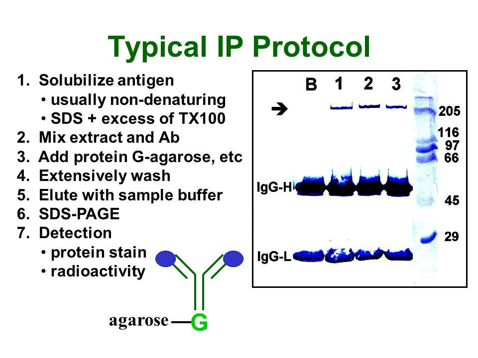Typical IP Protocol G agarose 1. Solubilize antigen