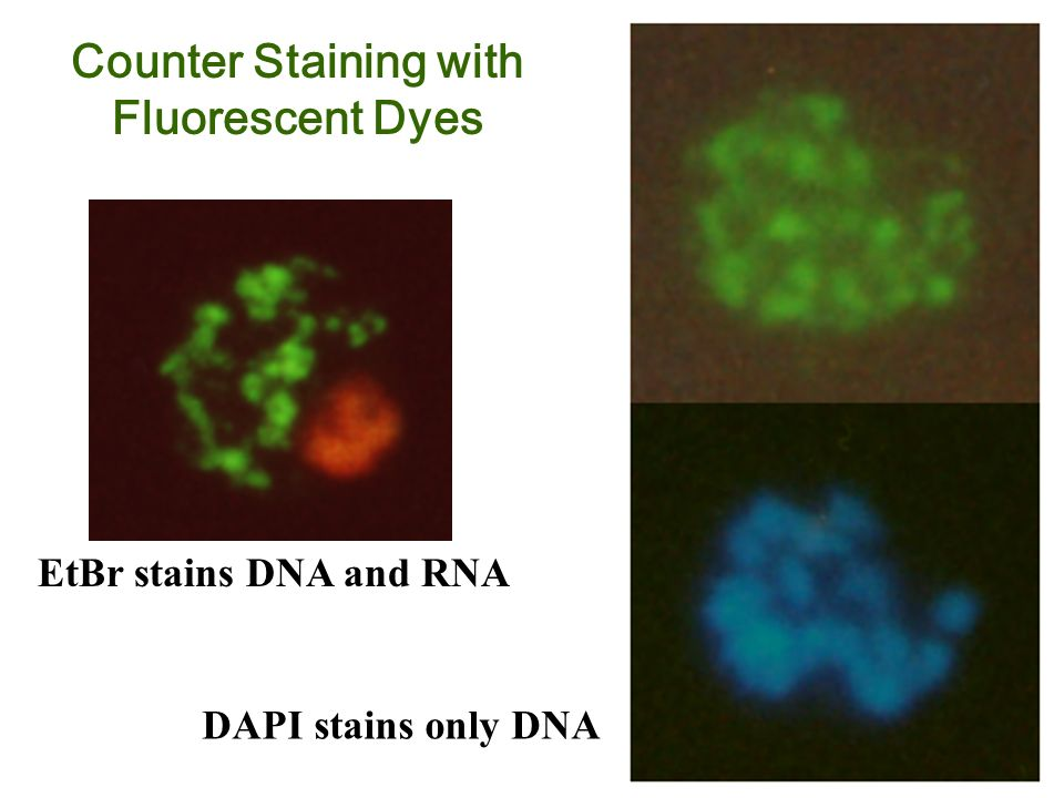 Counter Staining with Fluorescent Dyes