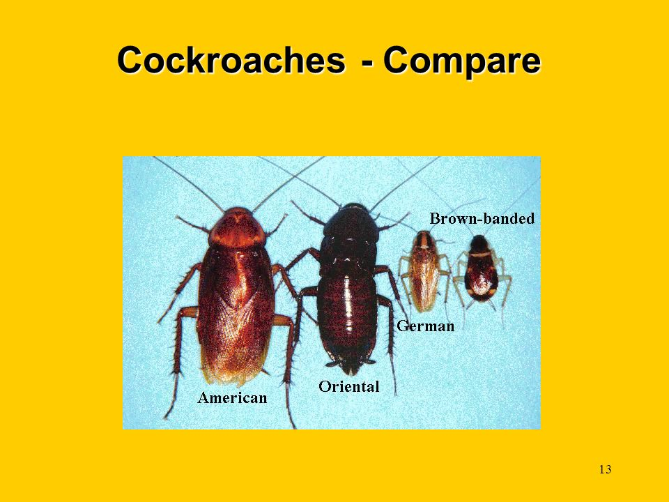 Cockroaches - Compare