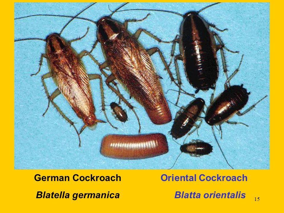 German Cockroach Oriental Cockroach