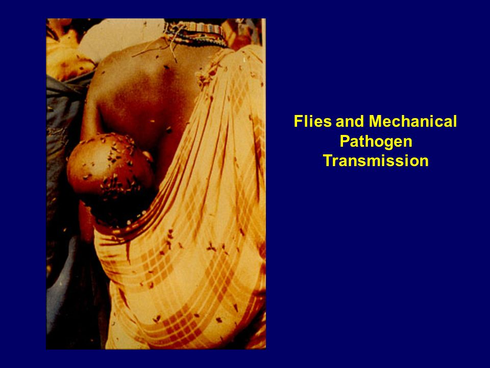 Flies and Mechanical Pathogen Transmission