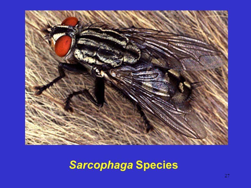 Sarcophaga Species