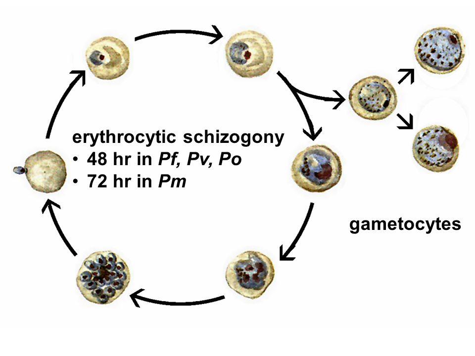 erythrocytic schizogony