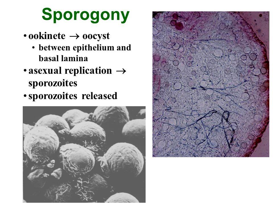 Sporogony ookinete  oocyst asexual replication  sporozoites