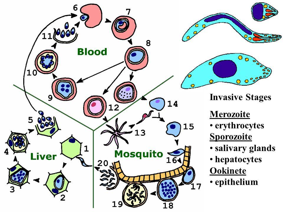 Invasive Stages Merozoite erythrocytes Sporozoite salivary glands hepatocytes Ookinete epithelium