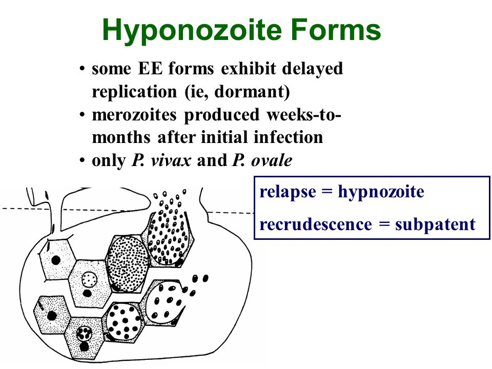 Hyponozoite Forms some EE forms exhibit delayed replication (ie, dormant) merozoites produced weeks-to-months after initial infection.