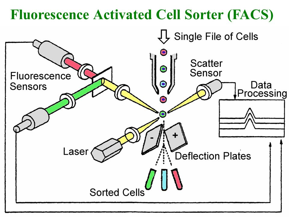 Fluorescence Activated Cell Sorter (FACS)