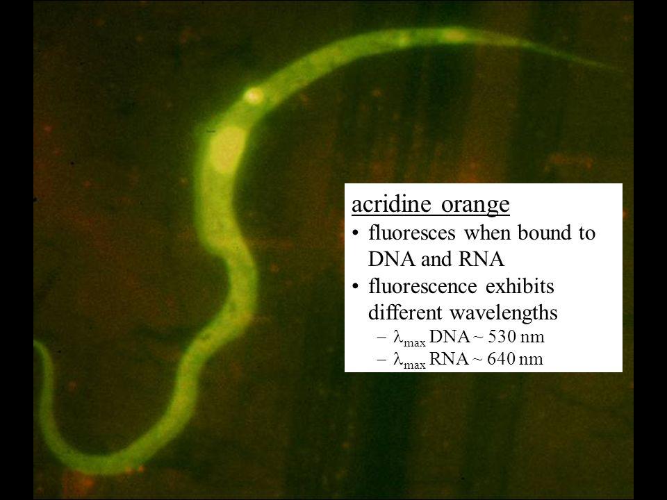 acridine orange fluoresces when bound to DNA and RNA