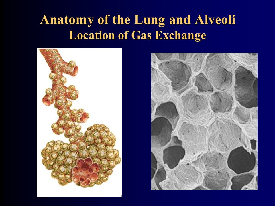 Anatomy of the Lung and Alveoli Location of Gas Exchange