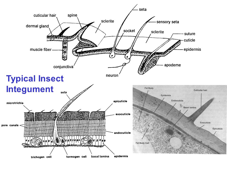 Typical Insect Integument