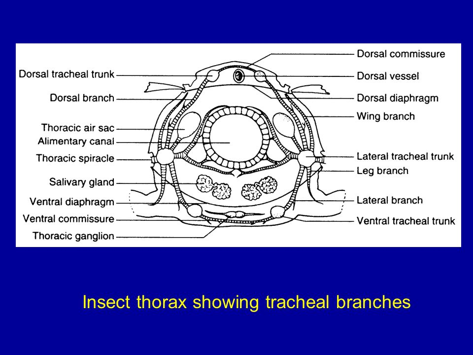 Insect thorax showing tracheal branches