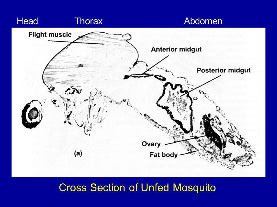 Cross Section of Unfed Mosquito