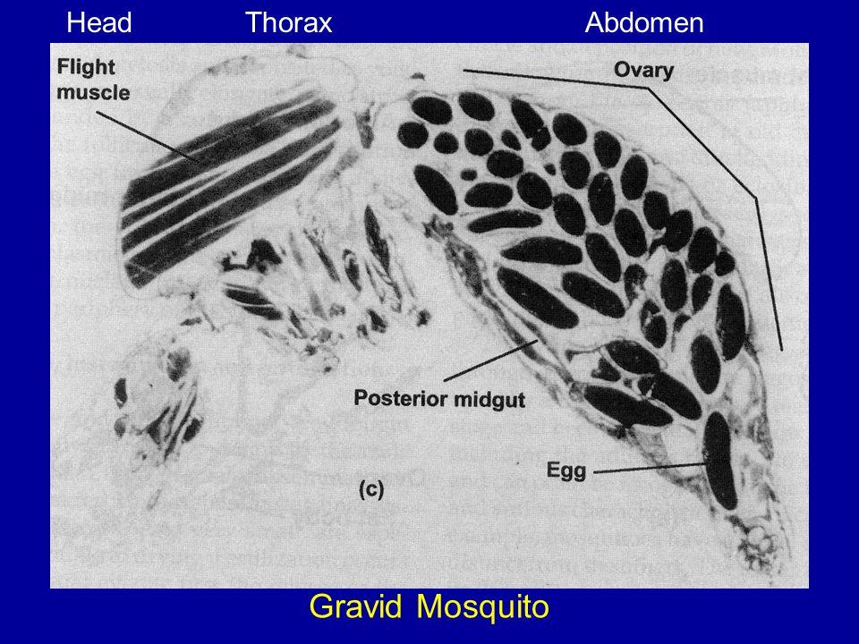 Head Thorax Abdomen Gravid Mosquito