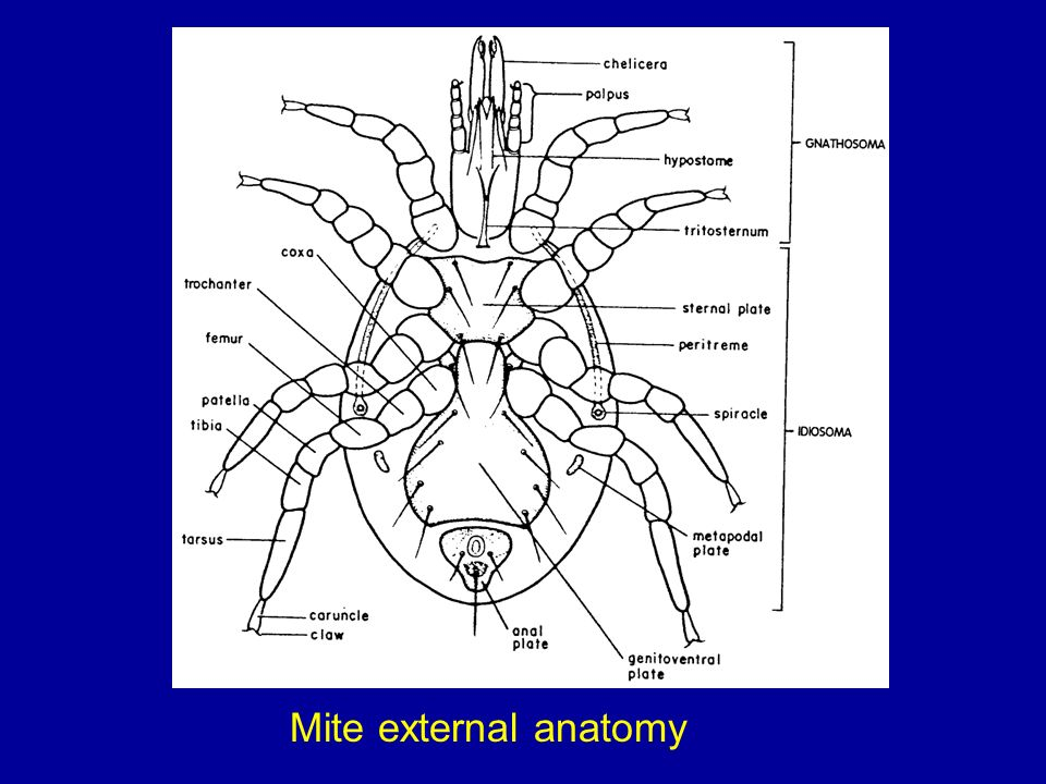 Mite external anatomy