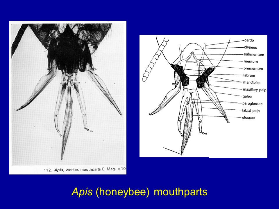 Apis (honeybee) mouthparts