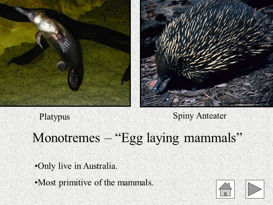Monotremes – Egg laying mammals
