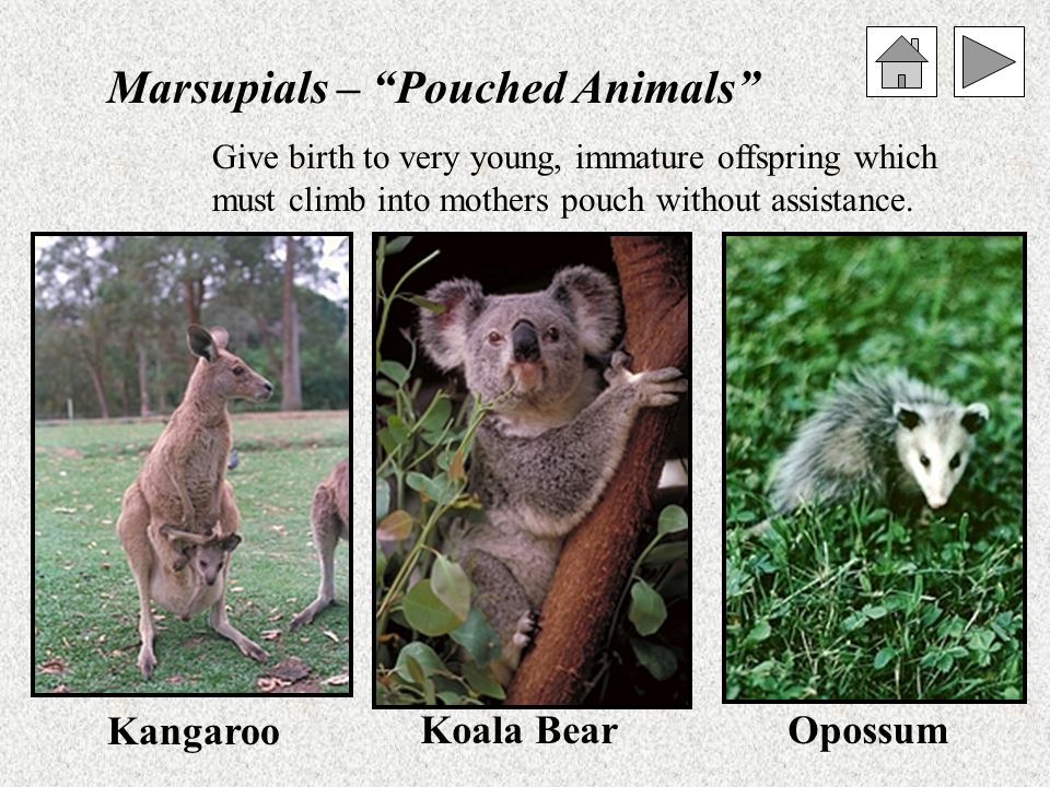 Marsupials – Pouched Animals