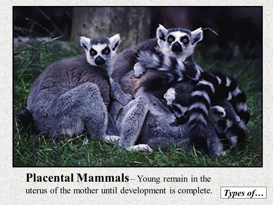 Placental Mammals – Young remain in the