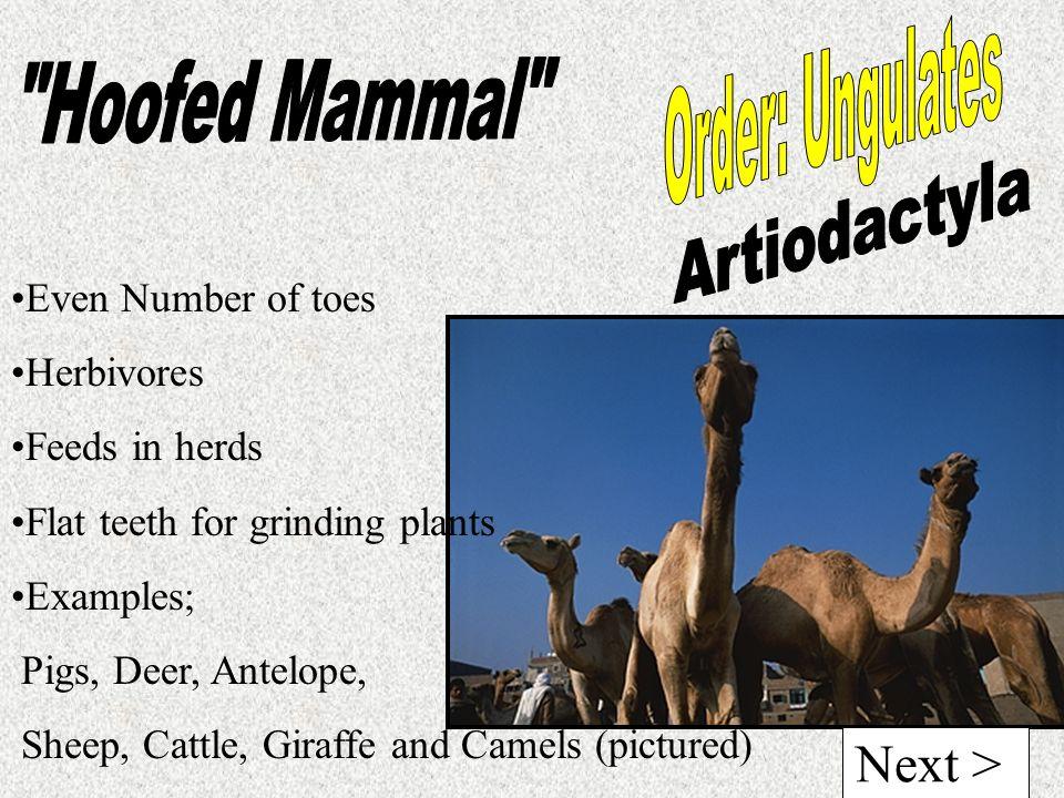 Hoofed Mammal Order: Ungulates Artiodactyla Next >