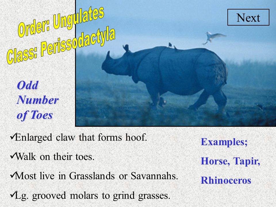 Class: Perissodactyla