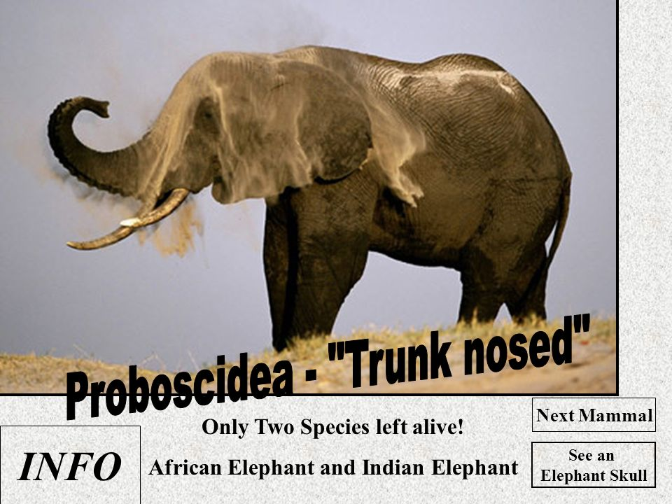 Only Two Species left alive! African Elephant and Indian Elephant