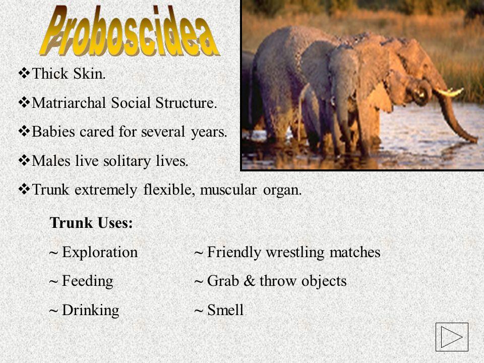 Proboscidea Thick Skin. Matriarchal Social Structure.