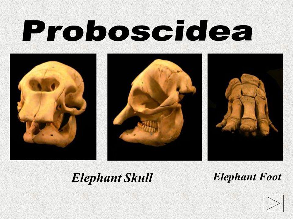 Proboscidea Elephant Skull Elephant Foot