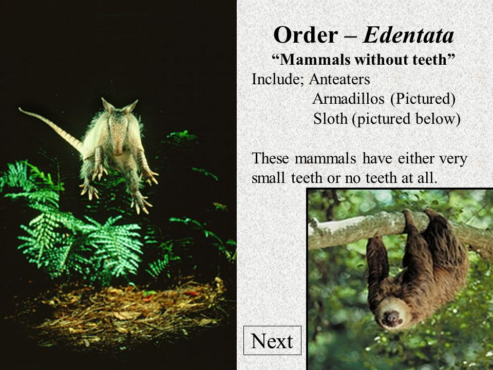 Mammals without teeth