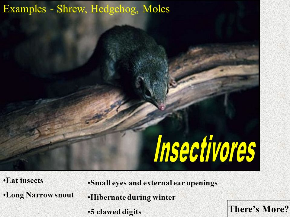 Insectivores Examples - Shrew, Hedgehog, Moles There's More