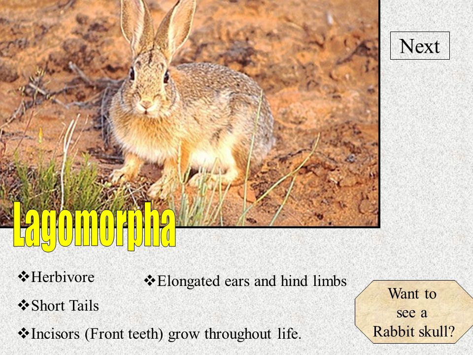 Lagomorpha Next Herbivore Elongated ears and hind limbs Short Tails