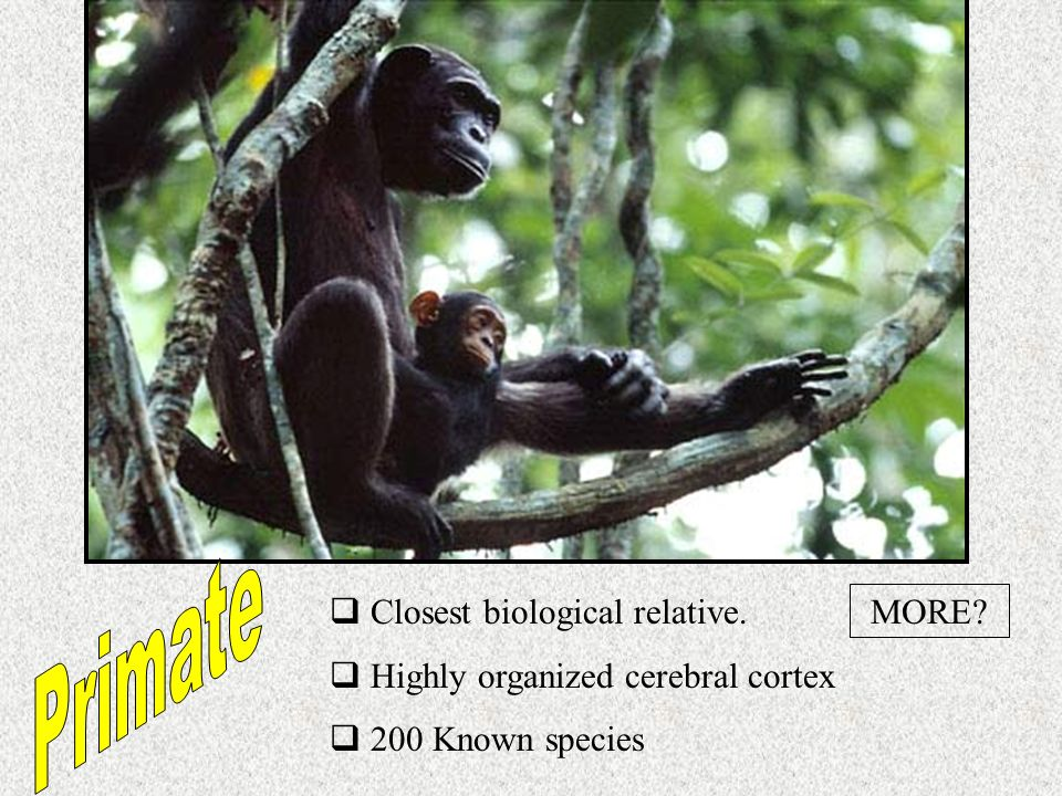 Primate Closest biological relative. Highly organized cerebral cortex