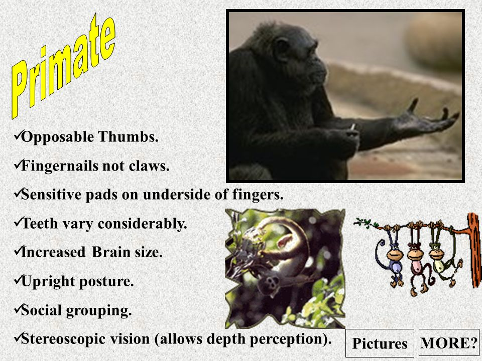 Primate Opposable Thumbs. Fingernails not claws.