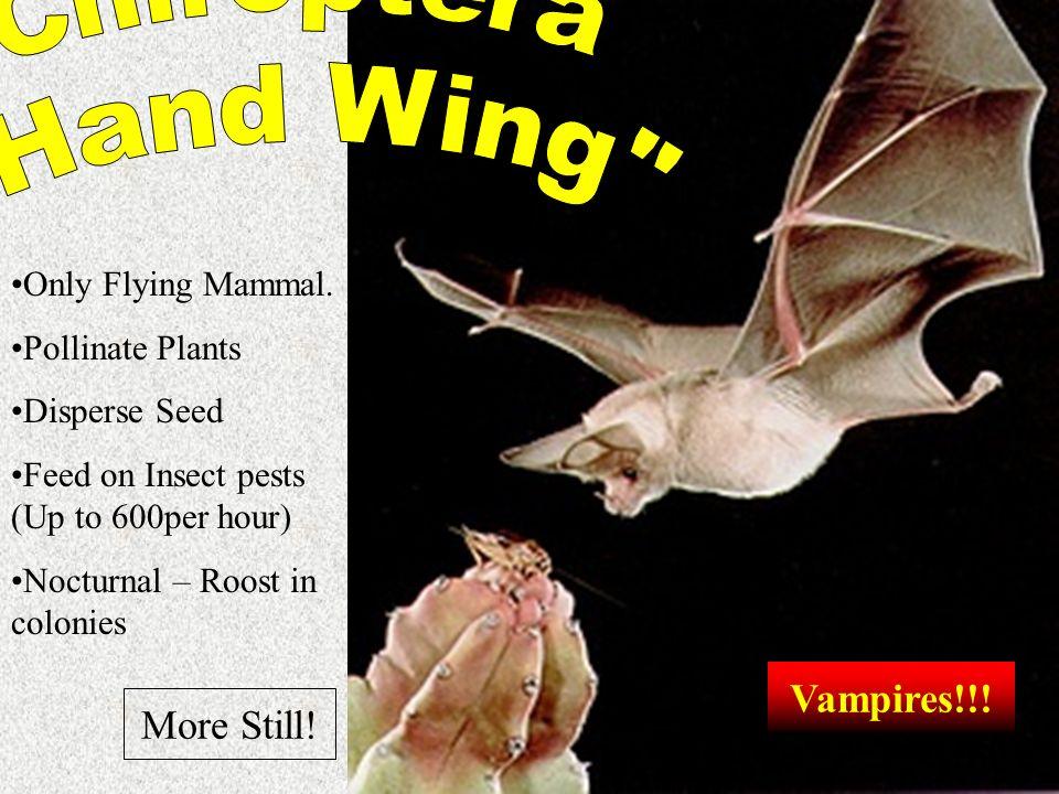Chiroptera Hand Wing Vampires!!! More Still! Only Flying Mammal.