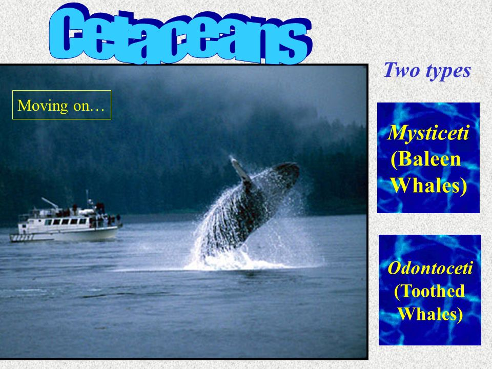 Cetaceans Two types Mysticeti (Baleen Whales) Odontoceti (Toothed