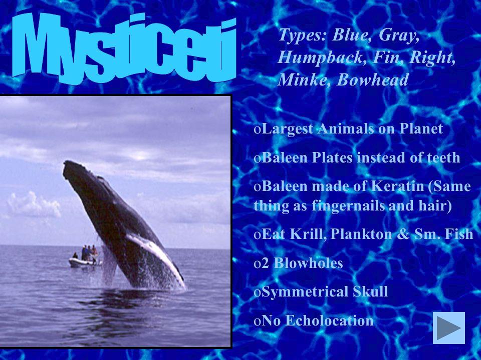 Mysticeti Types: Blue, Gray, Humpback, Fin, Right, Minke, Bowhead