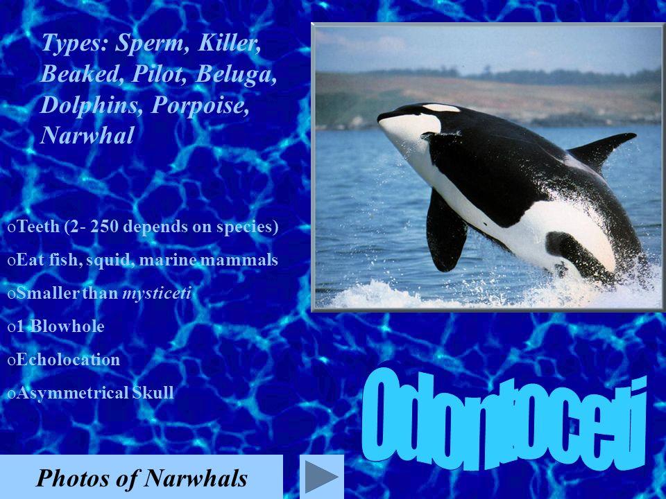 Types: Sperm, Killer, Beaked, Pilot, Beluga, Dolphins, Porpoise, Narwhal