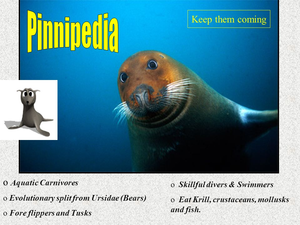 Pinnipedia Keep them coming Aquatic Carnivores