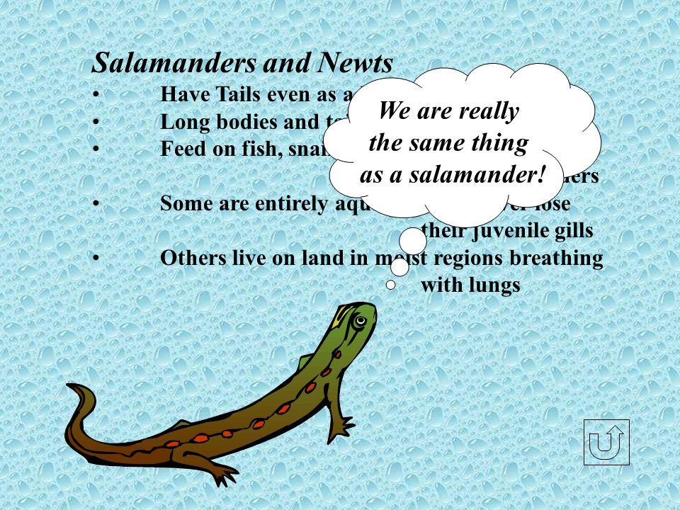 Salamanders and Newts We are really the same thing as a salamander!