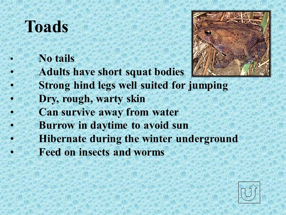 Toads Adults have short squat bodies
