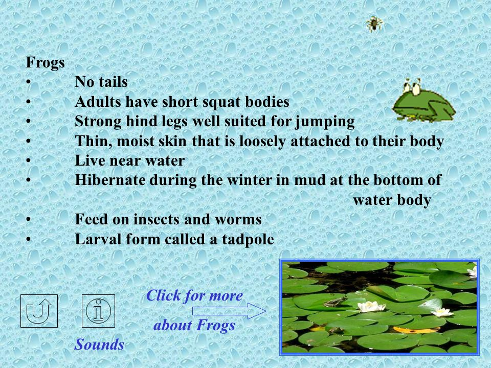 Frogs No tails. Adults have short squat bodies. Strong hind legs well suited for jumping. Thin, moist skin that is loosely attached to their body.
