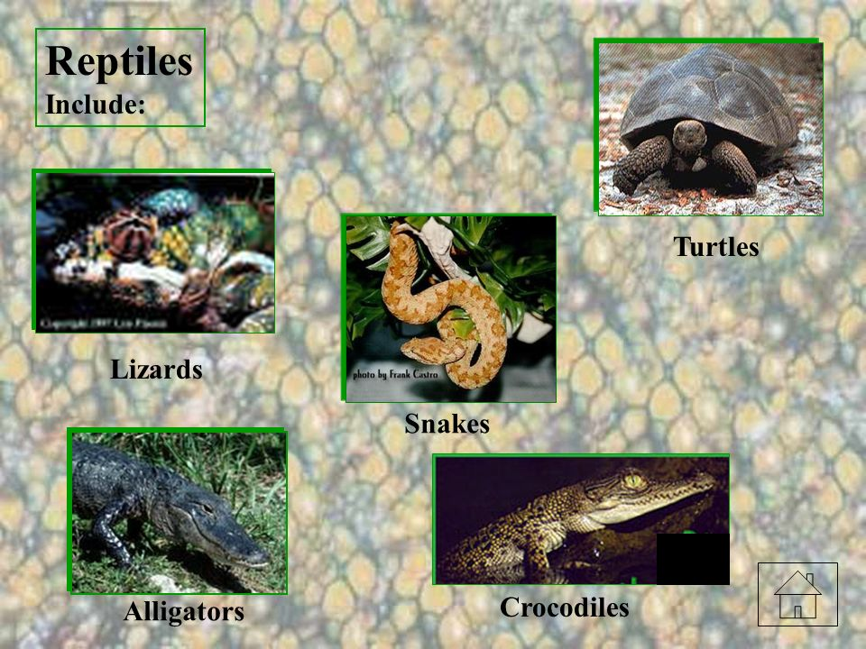 Reptiles Include: Turtles Lizards Snakes Alligators Crocodiles