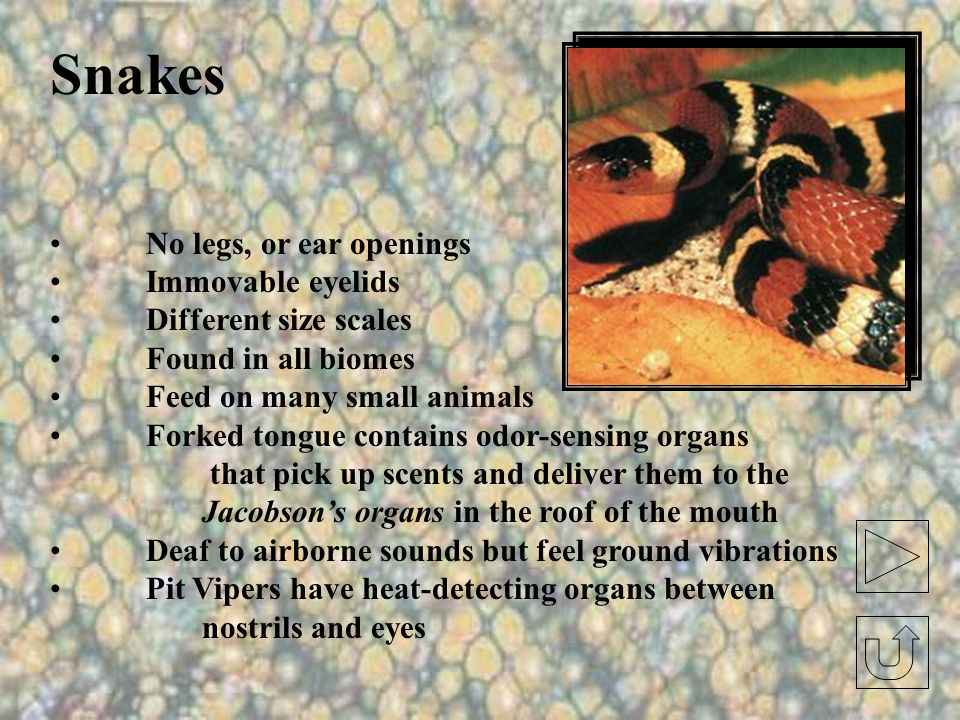 Snakes No legs, or ear openings Immovable eyelids