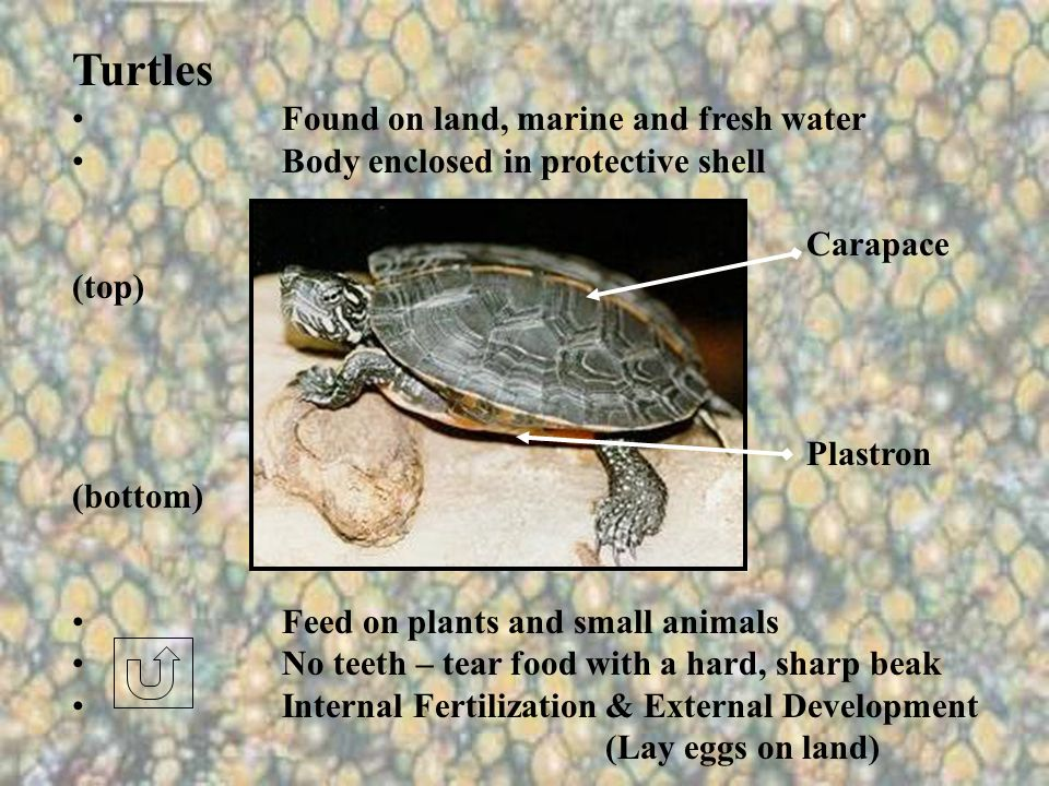 Turtles Found on land, marine and fresh water