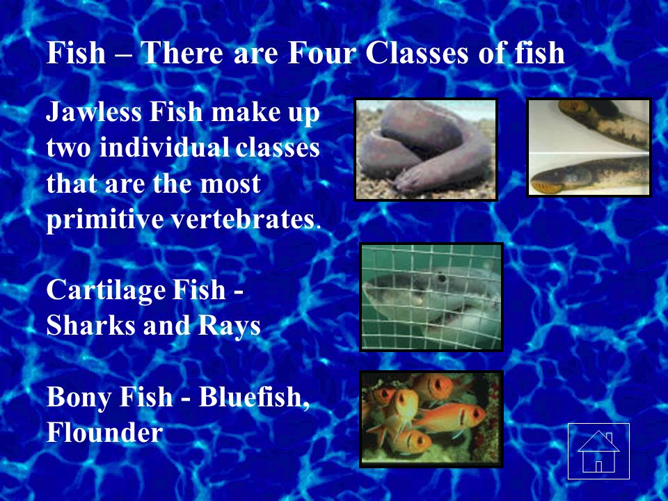 Fish – There are Four Classes of fish