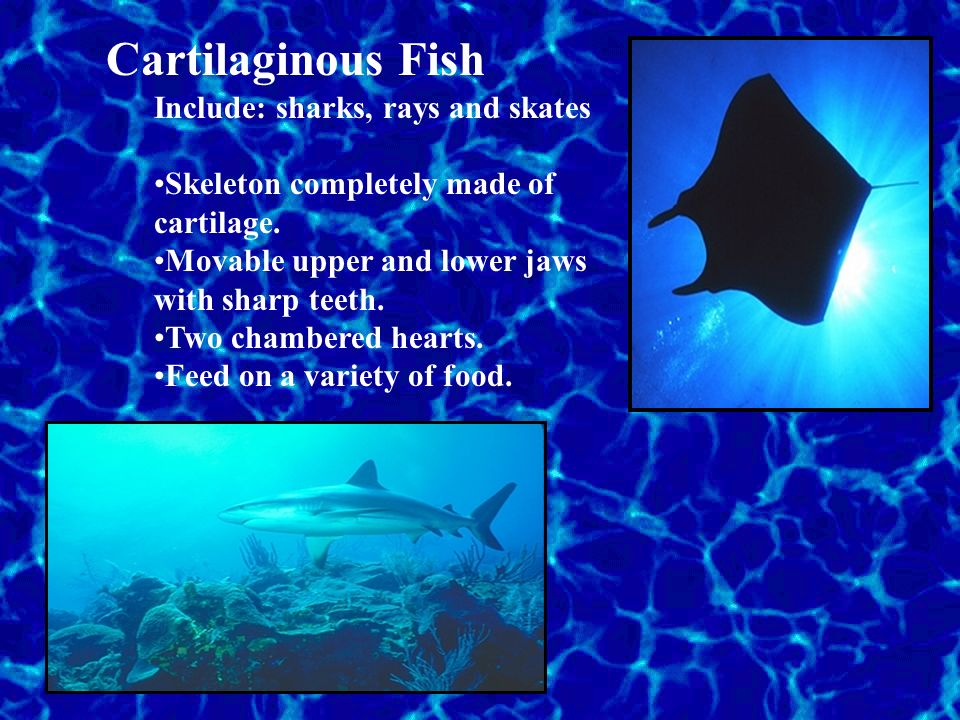 Cartilaginous Fish Include: sharks, rays and skates