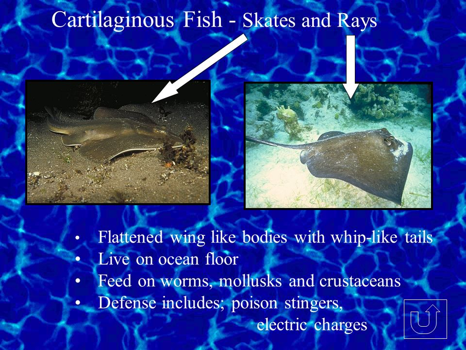 Cartilaginous Fish - Skates and Rays