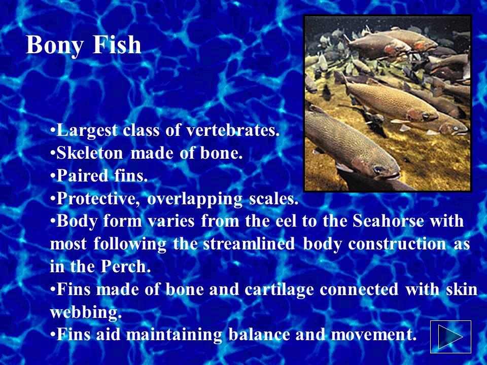 Bony Fish Largest class of vertebrates. Skeleton made of bone.