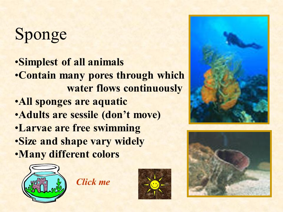 Sponge Simplest of all animals Contain many pores through which