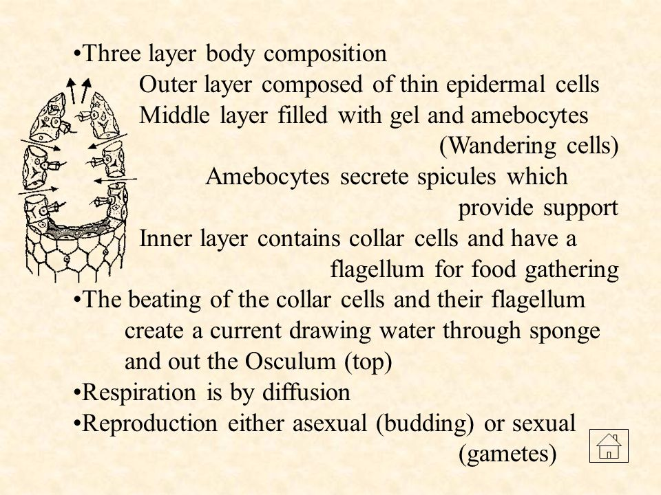 Three layer body composition