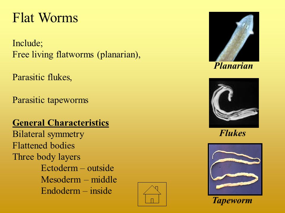 Flat Worms Include; Free living flatworms (planarian),